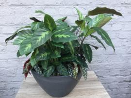 Plantencoupe met Calathea en Begonia