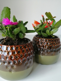 Lidcactus/oranje