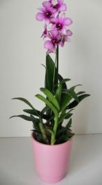 Dendrobium in pot