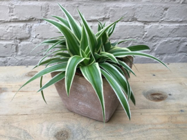 Kamerplantje Chlorophytum in pot