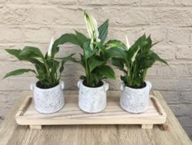 Plantentray met 3 plantjes (spatephillum) in stenen potje