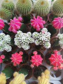 Mini cactus/2st