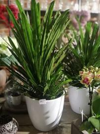 Pachypodium lamerei  of Pachypodium lamereiplant in pot