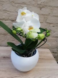 Phaleanopsis speciale vorm