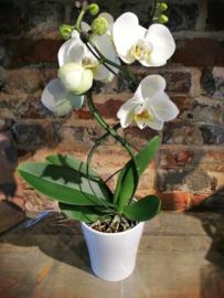 Phaleanopsis orchidee  gedraaid in pot