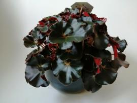 Bladbegonia in pot