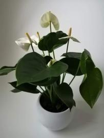 Anthurium wit in pot