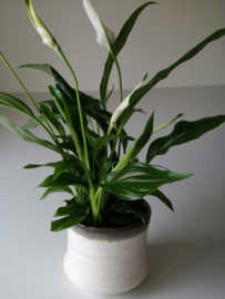 Spathiphyllum in potje