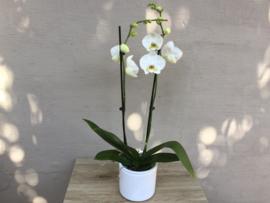Phaleanopsis wit
