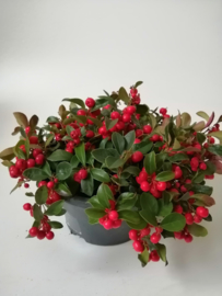Gaultheria coupe