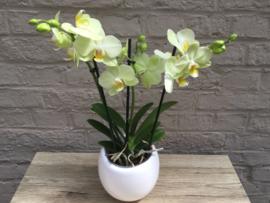 Orchidee Phaleanopsis in pot