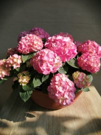 Hortensia coupe