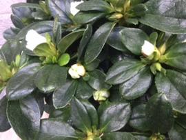 Azalea wit