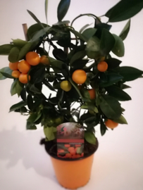 Citrusboompje calamondin