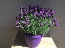 Lavendel in pot