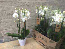 Orchidee Phaleanopsis, wit met 4 takken