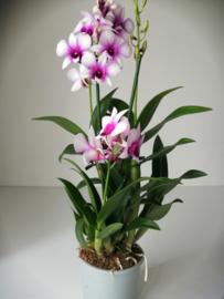 Dendrobium roze/wit 2t