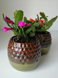 Lidcactus/roze