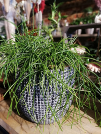 Rhipsalis in pot