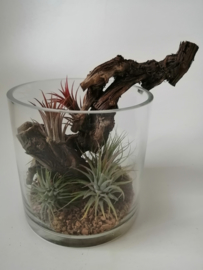 Tillandsia in vaas