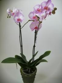Phaleanopsis orchidee