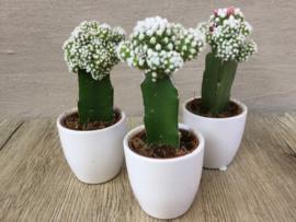 cactus in potje