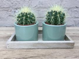 Cactusjes op schaal