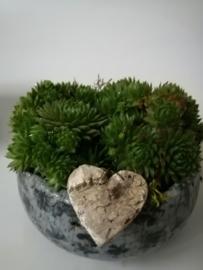Sempervivum in pot