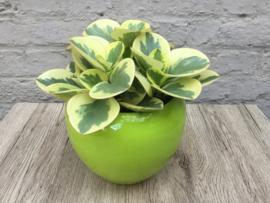 Peperomia in pot