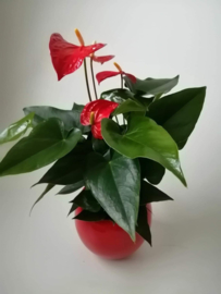 Anthurium rood in pot
