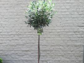 Olijfboom in pot, H180cm