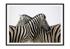 Zebra op poster