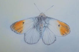 Oranjetip 051