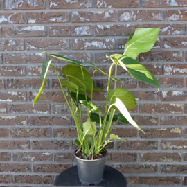 Monstera - gatenplant