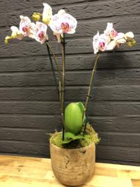 Orchidee in sierpot