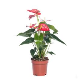 Anthurium - rood