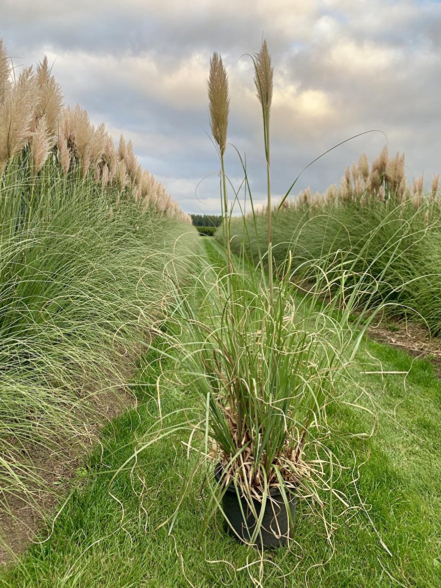 pampasgras plant in 10l. pot
