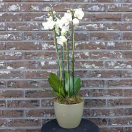 Arranjement orchidee in pot