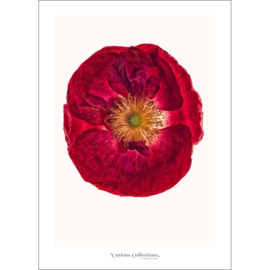 Poster Poppy Flower 1 - Curious Collections
