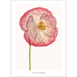 Poster Poppy Flower 3 - Curious Collections