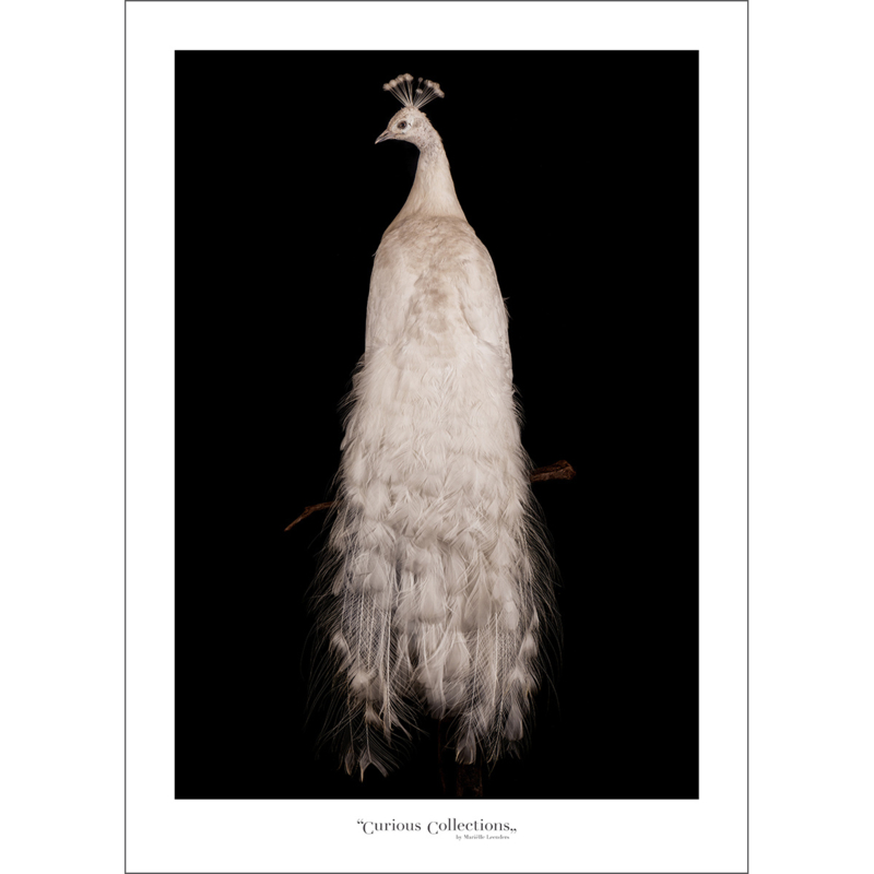 Poster White Peacock - Curious Collections