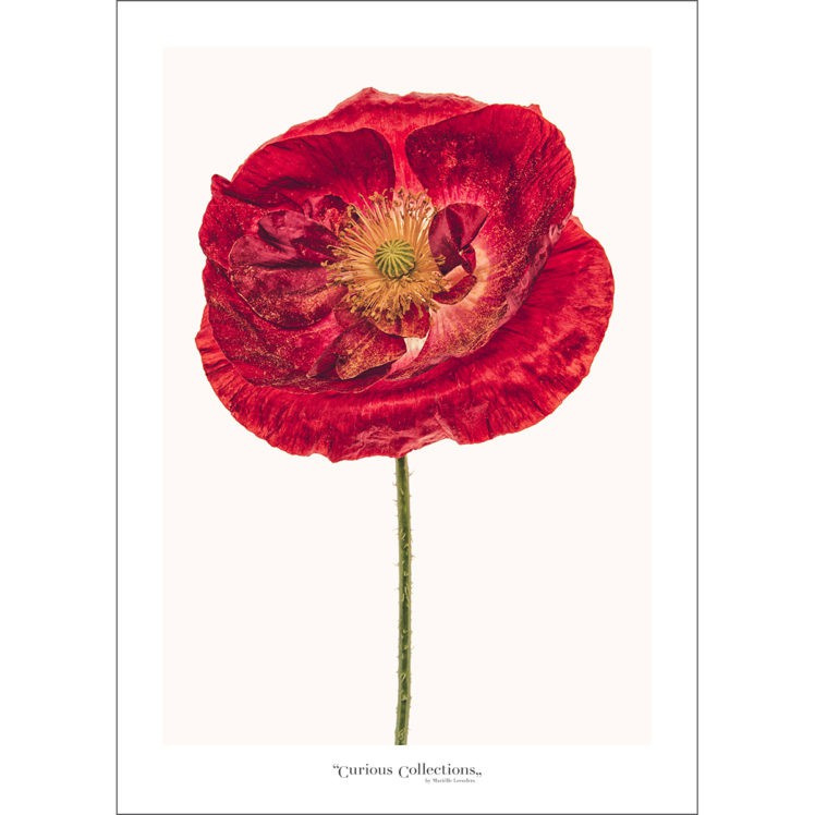 Poster Poppy Flower 2 - Curious Collections