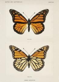 Esque   Poster   Vintage   Vlinders   Backorder