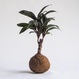 Geluksboompje Kokedama | Small