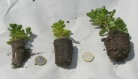 Sedum, kruiden en grassen pluggen (P5) - 50 stuks