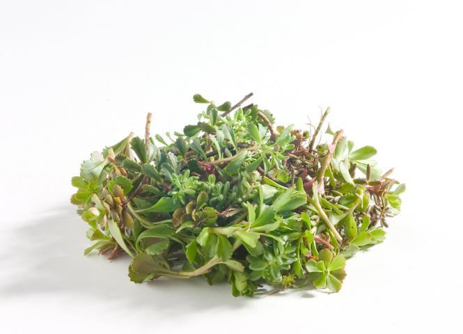 Sedum stekjes - Mix diverse soorten