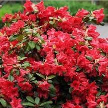 rhododendron hybride rood 20/25cm hoog