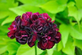 hang geranium Gen Tommy