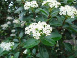 Viburnum Tinus 20-30 cm