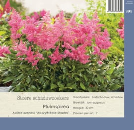 VIPS Astilbe arendsii 'Astary Rose Shades'